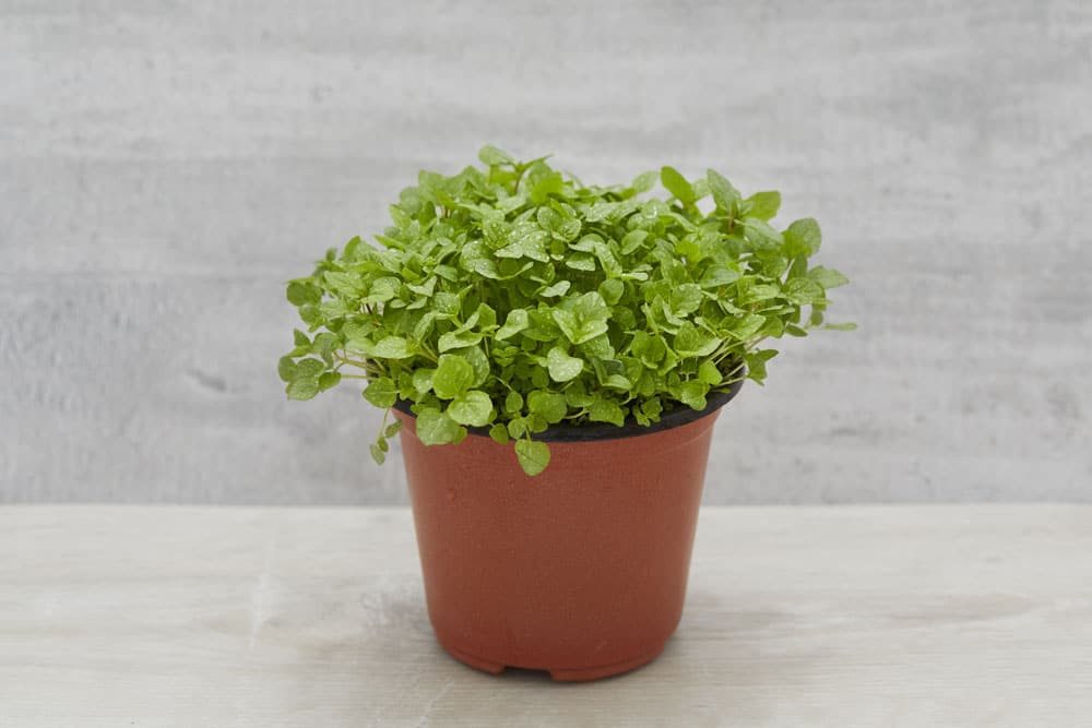 Mint pocket herbs - Aromatic herbs pots multiple benefits ...